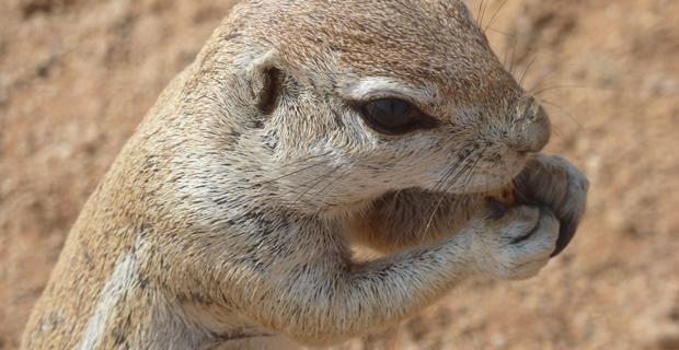 GB3_Ground Squirrel