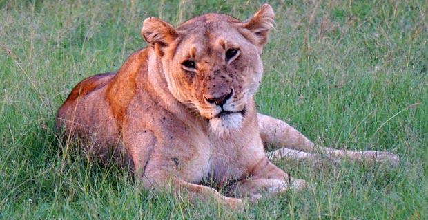 Löwin in Kenya