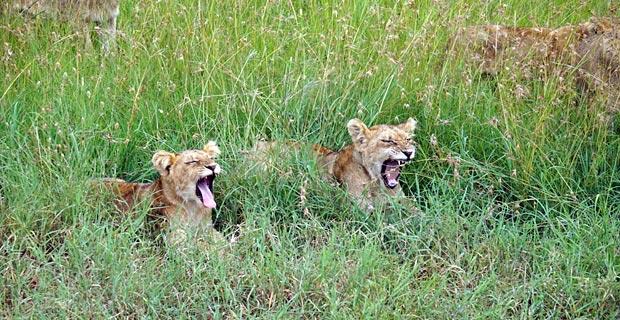 Löwenkinder im Gras