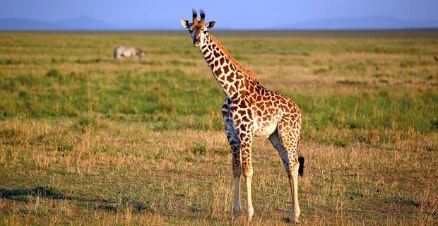 JUnge Giraffe in Kenia