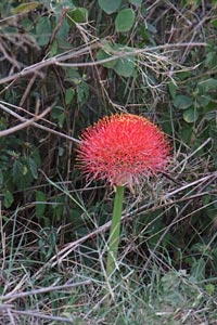 Rote Blume in der Serengeti