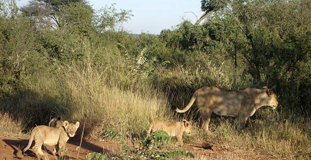 Löwenfamilie zu Besuch
