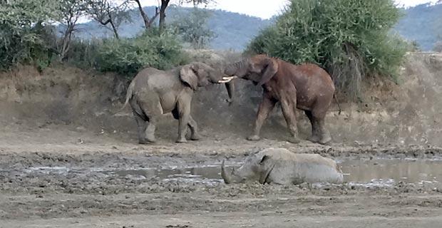 Elefantenbullen am Wasserloch Impodimo