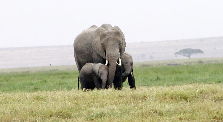 Elefant mit 2 Kälbern